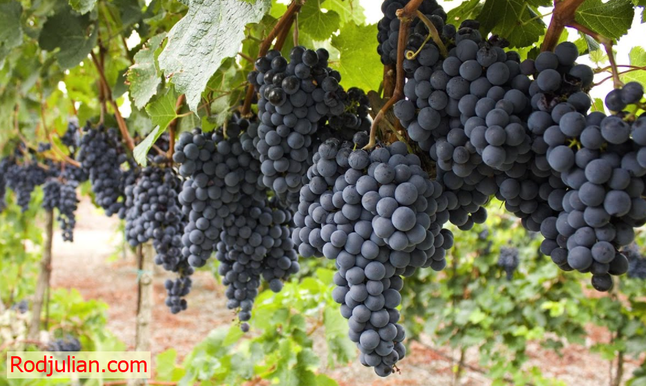 The following reasons prove you should eat grapes every day!