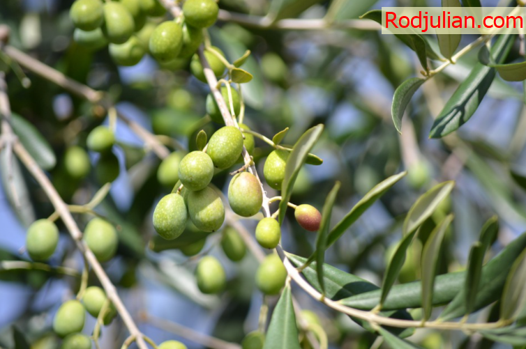 The main uses of olives!